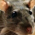 Самое эффективное средство против мышей