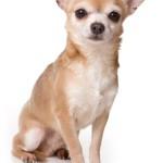 Чихуахуа — самая маленькая собака в мире