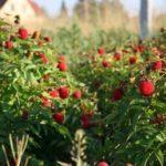 Как собрать хороший урожай малины: рекомендации садоводов